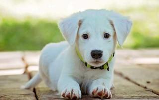 Vastuu koiran aiheuttamista vahingoista perustuu tuottamukseen